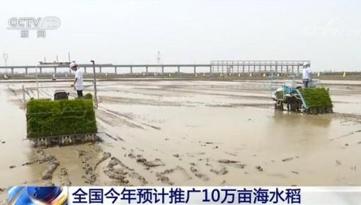 全國今年預計推廣10萬畝海水稻 100個縣區將啟動鹽堿地改造100萬畝