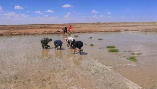 海水稻首次在青藏高原柴達木盆地試種植