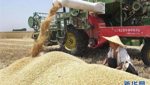 夏粮丰收在望 大规模小麦跨区机收全面展开