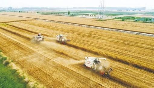 全國各地抓緊農時搶收小麥