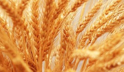 855.2公斤!小麥單產紀錄又被打破