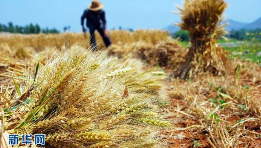 農業農村經濟向好態勢持續鞏固 麥收進度已過七成半
