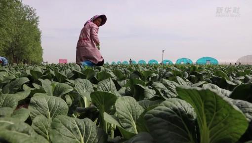 宁夏原州区:冷凉蔬菜产业兴