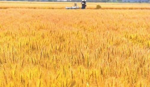 小麦丰收了,质量咋样
