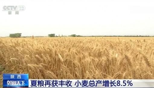 单产创近年新高!陕西:夏粮再获丰收 小麦总产增长8.5%