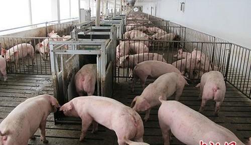 農業農村部:強化生豬收購販運管理 壓實防疫主體責任