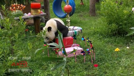 熊猫姐妹花过生日 仪式感十足萌翻全场