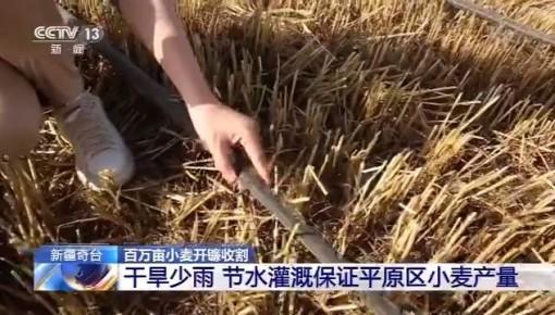 新疆奇台百万亩小麦开镰收割 日收割量达10万亩地