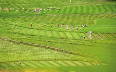 今年水稻有望实现丰收
