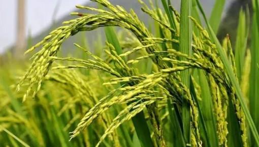 農業農村部:將秋糧作物重大病蟲害損失控制在5%以內