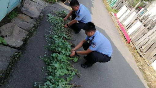 小村路边惊现大量罂粟 民警铲除200余株毒品原植物