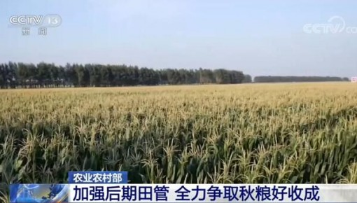 农业农村部:加强后期田管 全力夺取秋粮丰收