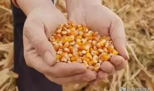 单倍体育种技术让玉米育种进程大大缩短