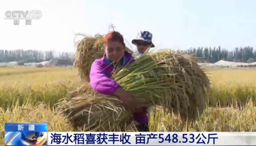 新疆:海水稻喜獲豐收 畝產548.53公斤