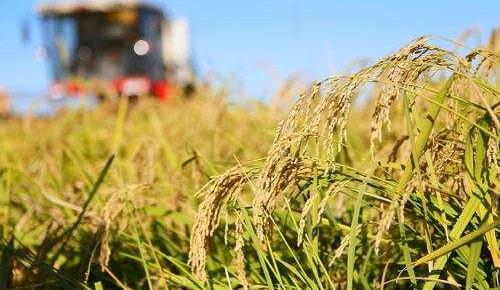 10万亩海水稻完成产量测评 平均亩产超千斤