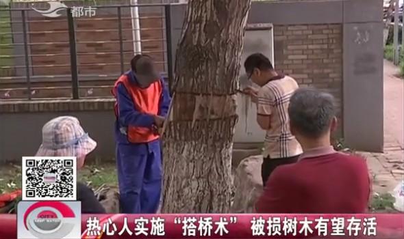 """【独家视频】热心人实施""""搭桥术"""" 被损树木有望存活"""